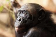 Malpa-Bonobo